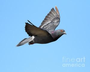 Wingsdomain Thanks Art And Photo Collector From West Grove PA Who Purchased A Fine Art Gliclee Print Of Flying Pigeon