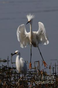Snowy Egret . They Call Me Happy Feet Too . By Wingsdomain.com Art And Photography