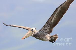 Wingsdomain.com Double Thanks Art And Photo Collector From San Leandro CA Who Purchased Two Separate Pelican In Flight Fine Art Gliclee Prints