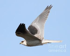 Flight Of The White-Tailed Kite Hawk . By Wingsdomain.com
