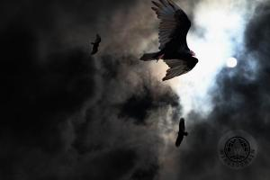The Vultures Have Gathered In My Dreams . Version 2 . By Wingsdomain.com Art And Photography